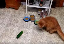 gatos se asustan con los pepinos