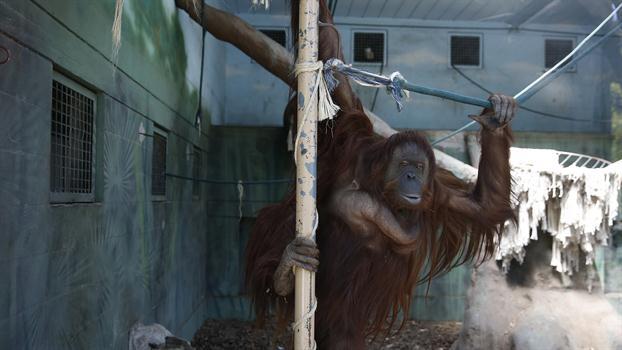 sandra-orangután-persona-no-humana-1