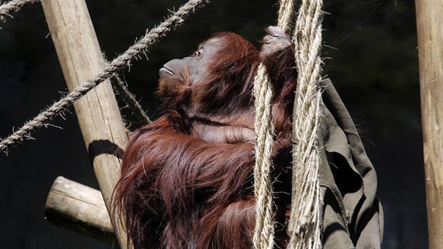 sandra-orangután-persona-no-humana