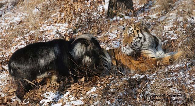 tigre se hizo amigo de una cabra que iba a ser su alimento