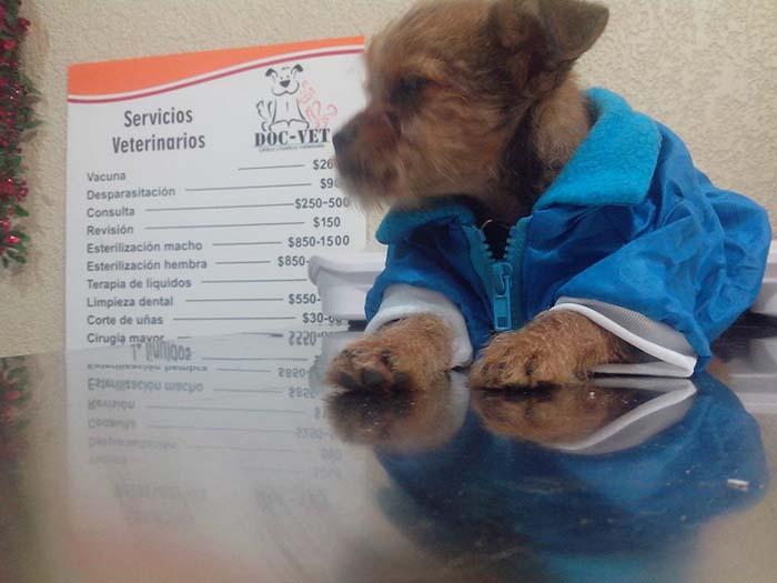 Chalán en el veterinario
