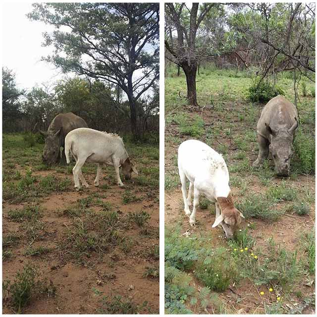 Rinoceronte y cabra son amigos