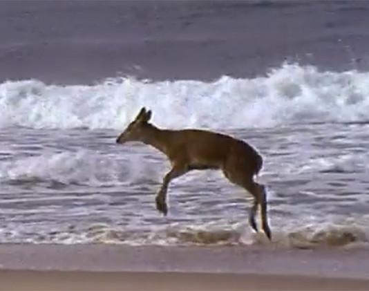 ciervo visita la playa y es muy feliz