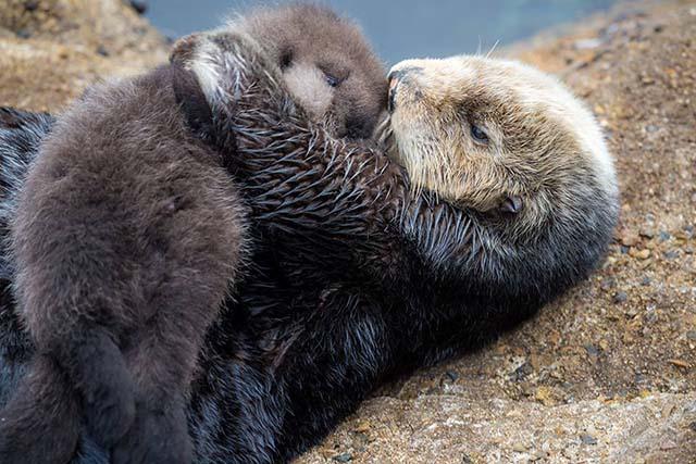 nutria marina y su bebé