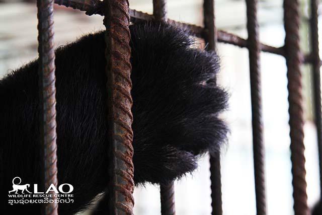 oso de la luna en una jaula