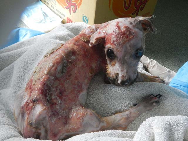 perro quemado con agua hirviendo
