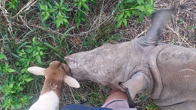 rinoceronte huérfano tiene un amigo inusual