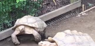 tortuga ayuda a su amigo varado en una roca
