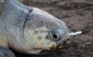tortuga con un tenedor en la nariz