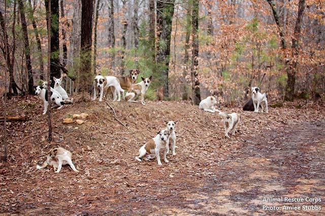 31 perros vivían en manada en el bosque