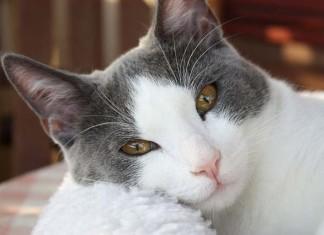 Tipa para limpiar las orejas de tu gato