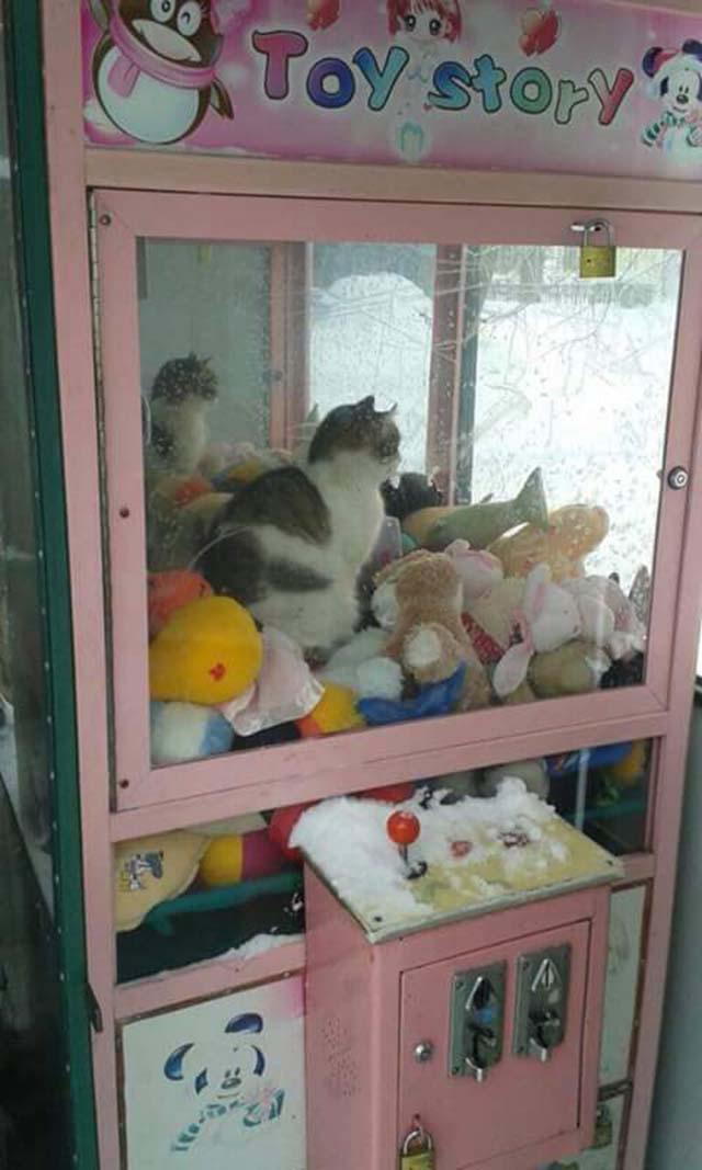 gato en máquina expendedora de peluches