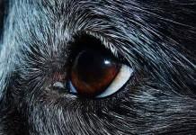 limpiar los ojos de tu perro