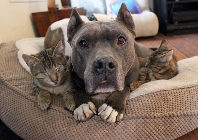 pit bull y gatos ciegos