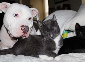 Pit Bulls cuidan de gatos ciegos