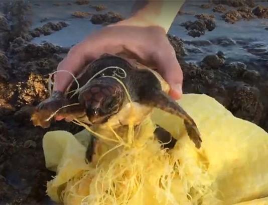 Bebé tortuga atrapada en la basura