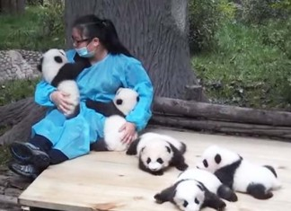 trabaja abrazando pandas