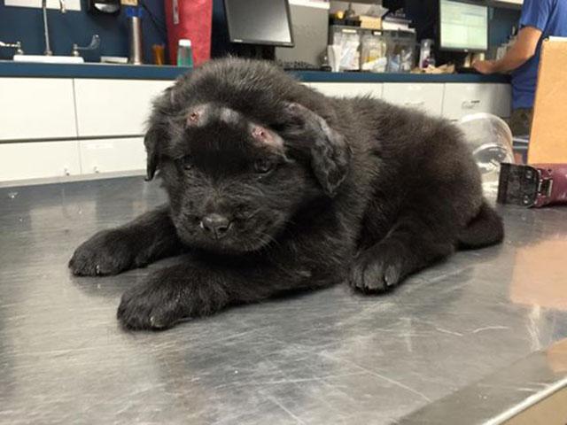 Brody, il cucciolo con 18 colpi