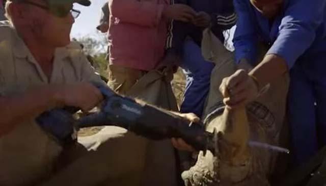 Con una sierra cortan cuerno de rinoceronte
