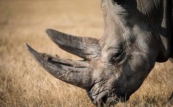 Cuerno de rinoceronte