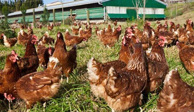 Gallinas corren felices en granjas al aire libre