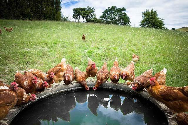 Granja de gallinas libres
