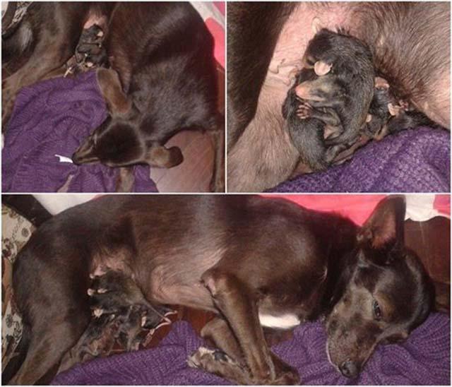 Perra adopta a bebés zarigüeyas