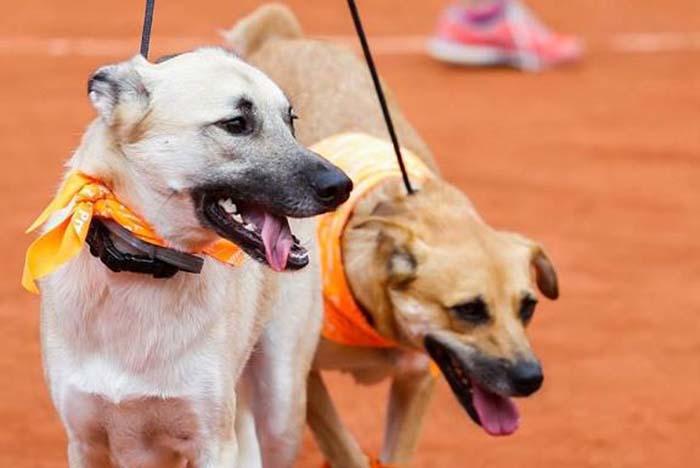 Perros en el abierto de Tenis en Brasil
