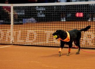 Perros entrenados como recogepelotas