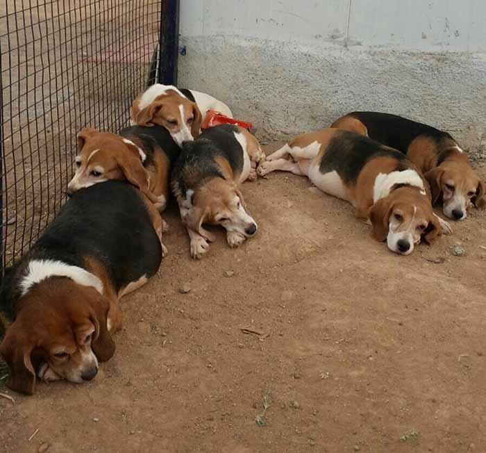 Pimeros perros liberados de un laboratorio en la India