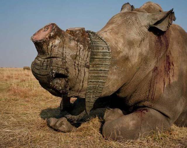 Reproducen rinocerontes en granjas para quitarles los cuernos