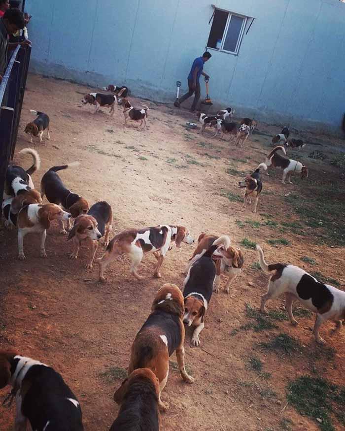 beagles liberados de laboratorio