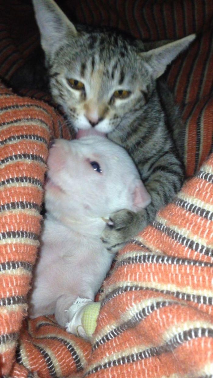gato y pit bull