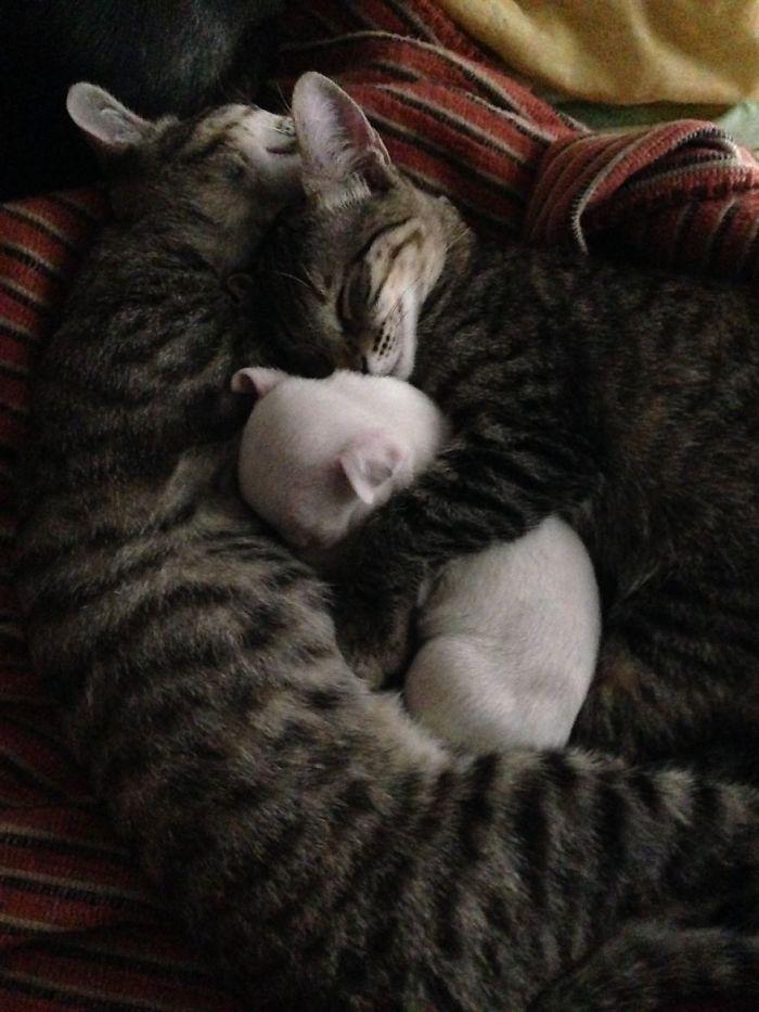 gatos adoptaron a un pit bull