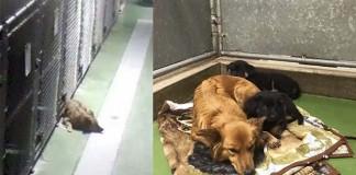 perra escapó de su jaula para consolar a cachorros
