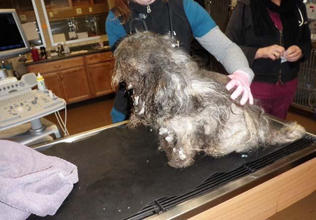 perro pelo enmarañado