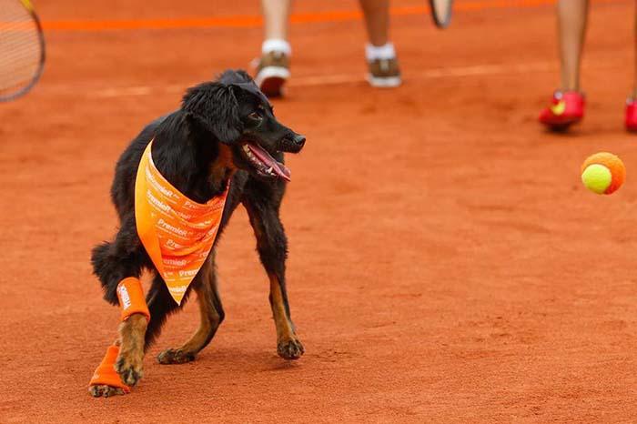 perros recoge pelotas