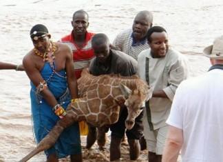 salvan a una jirafa