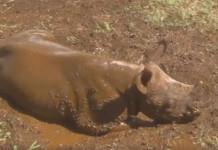 Bebé rinoceronte se baña por primera vez