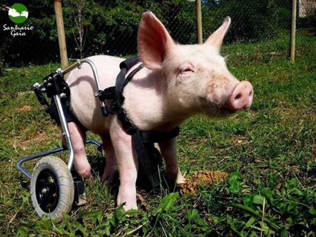 Cerdo en silla de ruedas