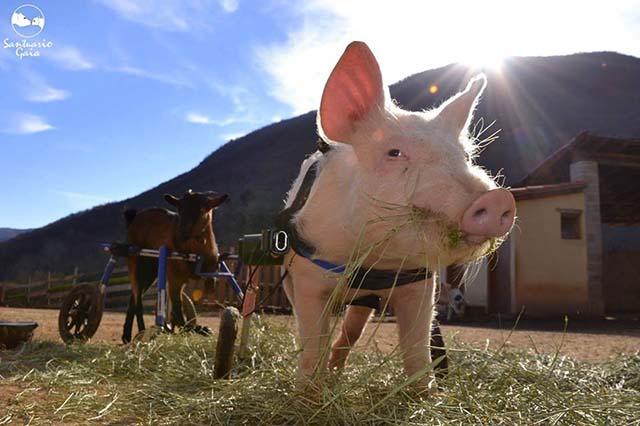 Cerdo paralítico