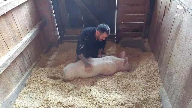 Cerdo recibe muchos mimos