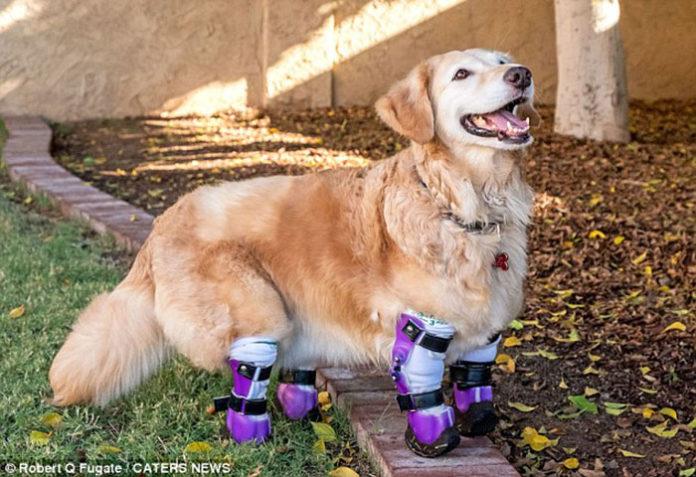 Chi Chi perdió sus patas y recibe prótesis