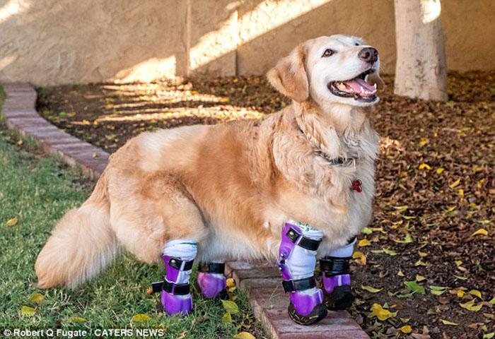 Chi Chi recibe prótesis