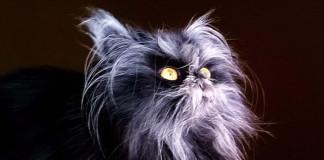 Gato con un extraño síndrome de hombre lobo