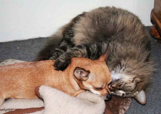 Gato y Chihuahua