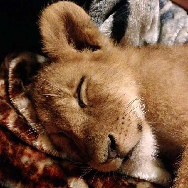 Lambert cachorro de león