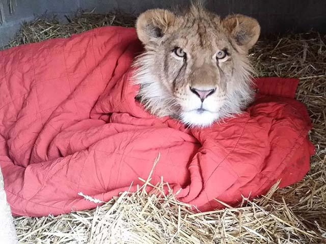 León con una manta para dormir