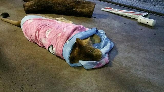 León duerme