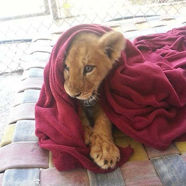 León rescatado duerme con una manta